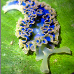 Caribbean sea slug