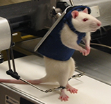 Photo of Rat Robot